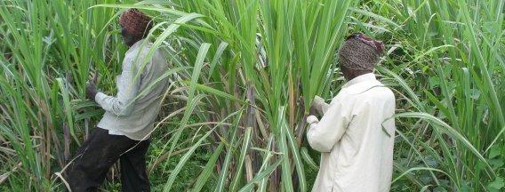Suikerriet India header
