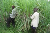 Suikerriet India thumb